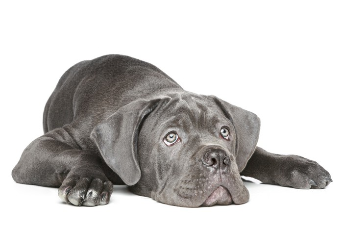 Best Dog Food For Cane Corso Ultimate Buyers Guide