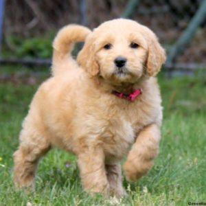 Quick and Simple Frozen Yogurt Dog Treats | Goldendoodle | Dogfood.guru
