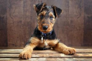 The Ultimate Airedale Food Buyer's Guide | Airdale Puppy | Dogfood.guru