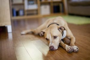 Do Dogs Get Depression? | The Spruce Pets | DogFood.Guru